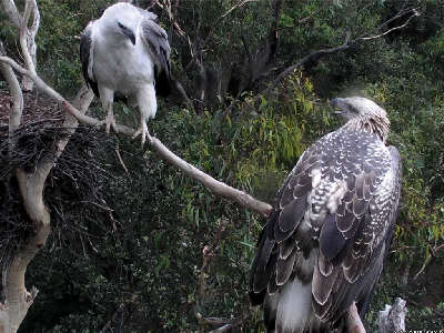 Sydney White Bellied Sea Eagles